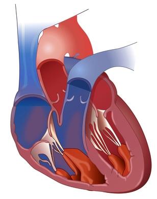 Bild: Herz mit Hauptstamm der Lungenarterie und Hauptschlagader (Aorta)